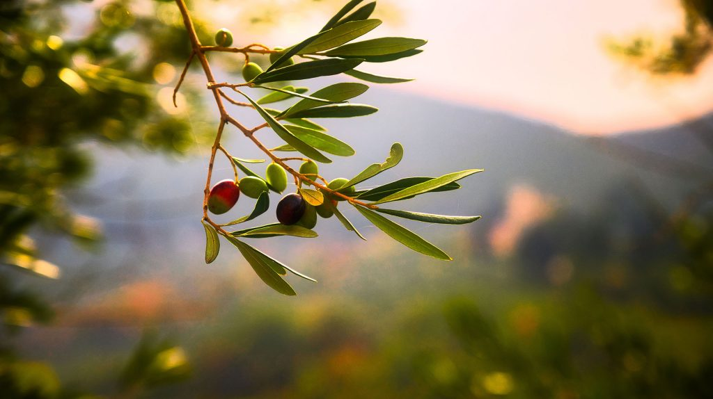 Photo of an olive tree branch with leaves and fruit. Background is a sunset. Photo by Lucio Patone.